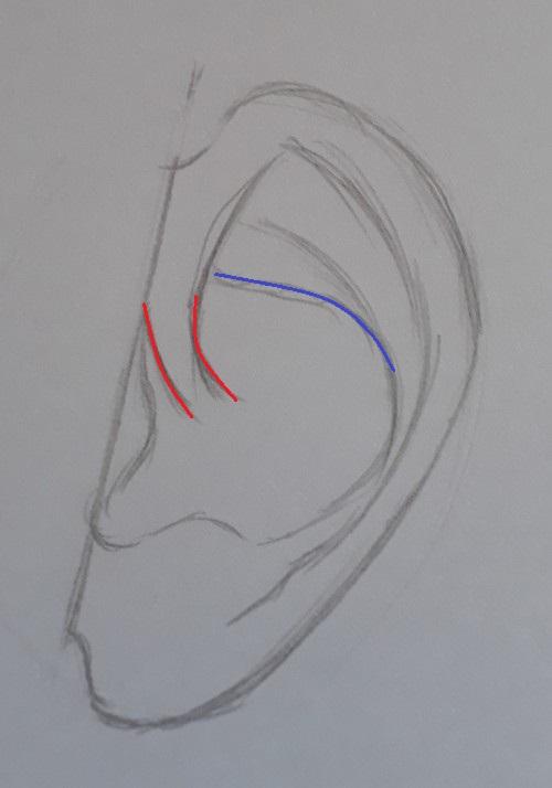 como desenhar orelha passo 6 marcado - Como desenhar orelha em 7 passos fáceis e rápidos